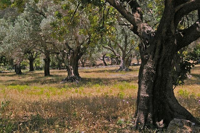 olivové stromy