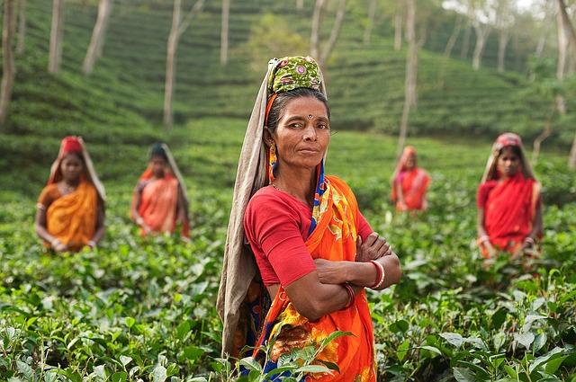 ženy na plantáži čaje.jpg